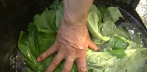 Combattre les pucerons avec des feuilles de rhubarbe