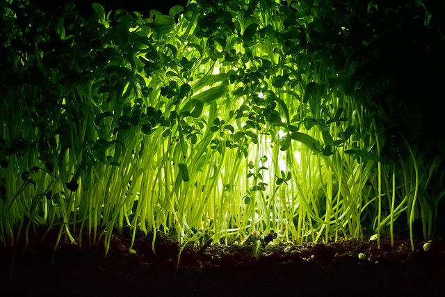Une forêt de cresson