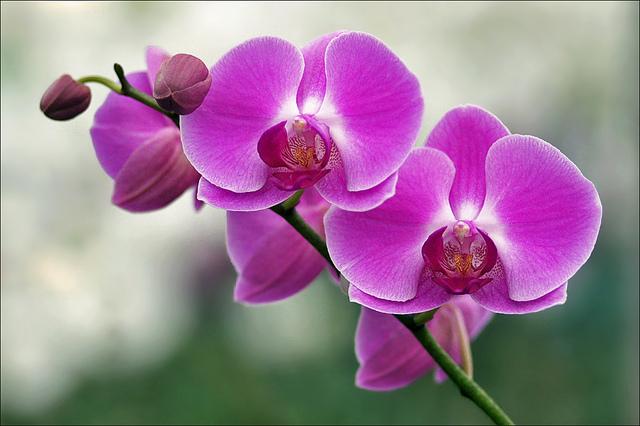 Orchidée fleurissant