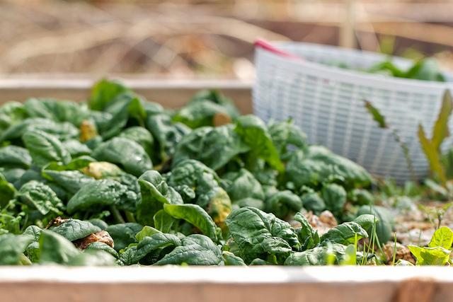 Récolter des pousses d'épinards fraîches
