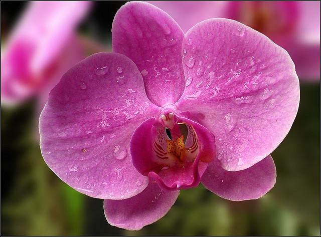 Orchidée après arrosage naturel