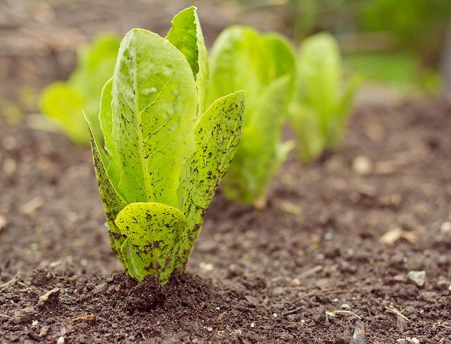 Un potager pour votre balcon cultiver ses laitues en ville - Quand planter les poivrons ...