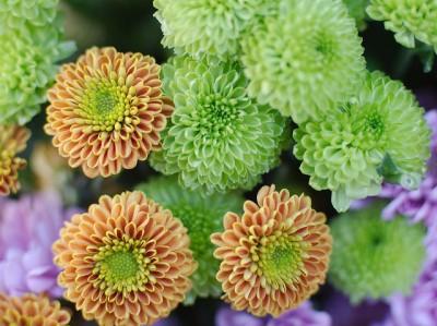 Chrysanthème - idéal pour lutter contre les solvants et les peintures fraîches