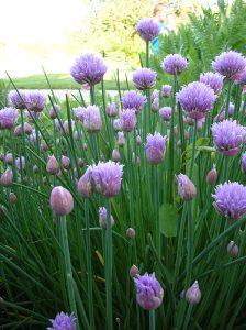 Ciboulettes fleuries