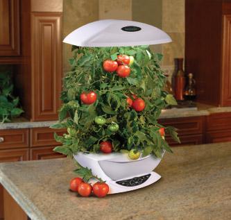 Tomates dans un potage hydroponique