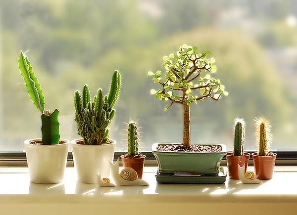 Le cactus combat les ondes