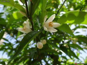 La fleur du yuzu