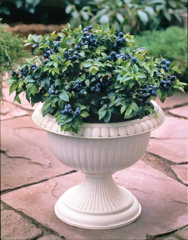 Myrtillier dans un pot