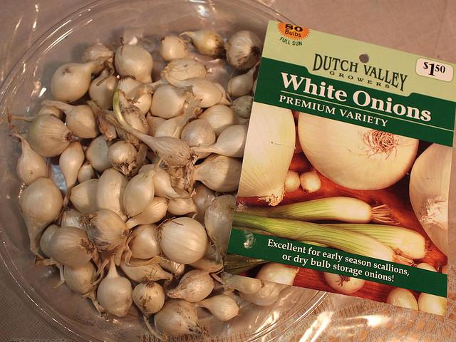 Bulbes d'oignons blancs