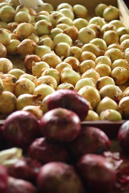 Récolter des oignons rouges et jaunes de son balcon