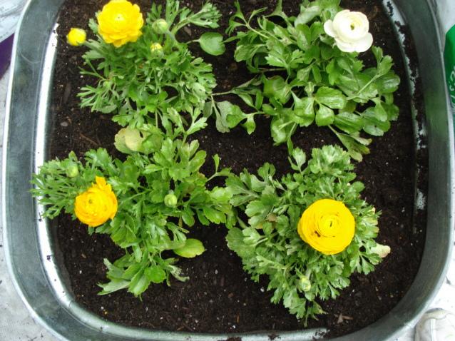 Planter des primevères en pot