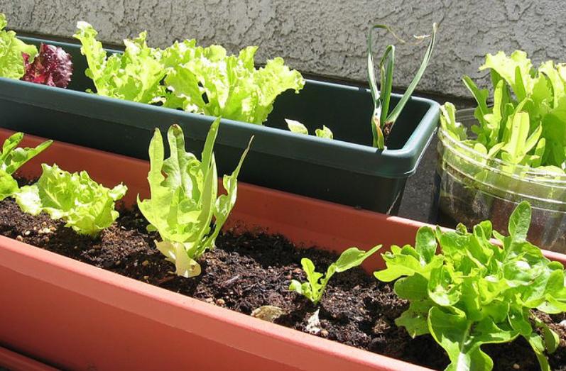 Planter des légumes en pots