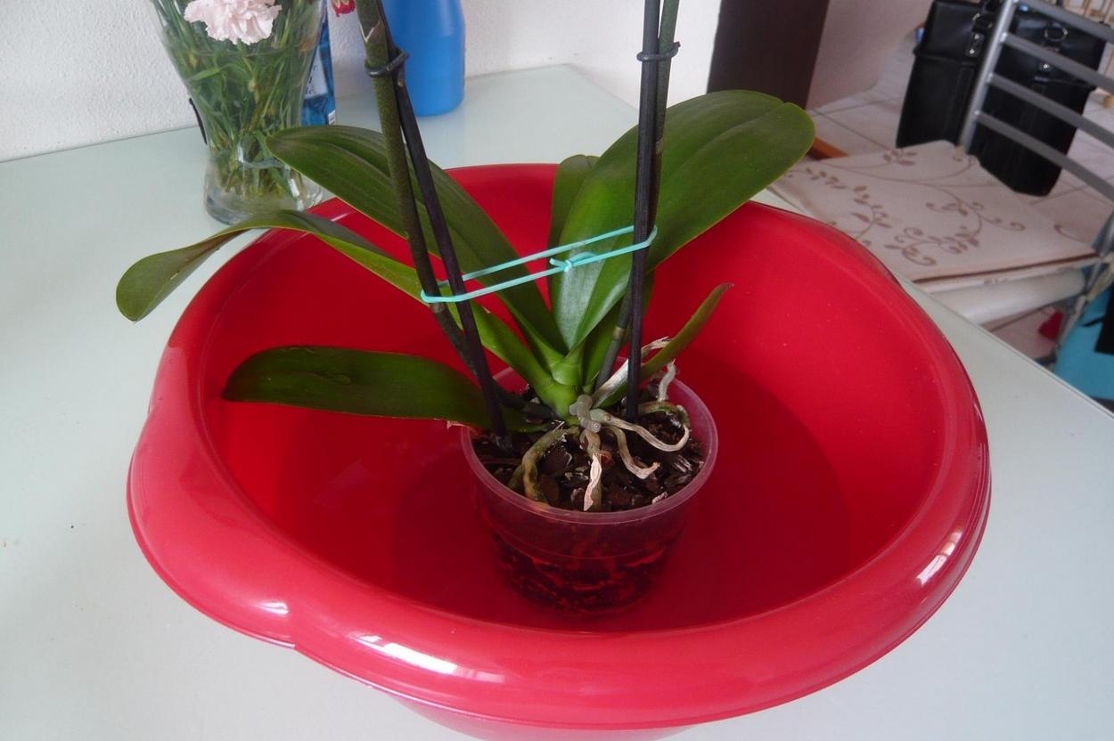 Comment Planter Une Orchidée un potager pour votre balcon   entretenir une orchidée d
