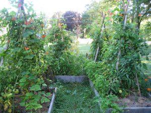 Un tipi support de plants de tomates