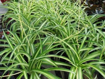 Chlorophytum ou plante araignée