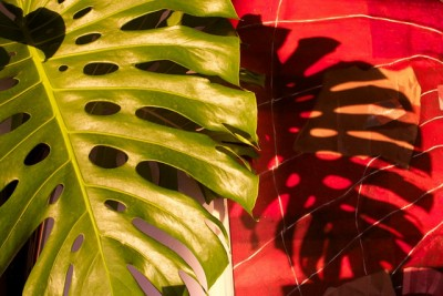 Philodendron - idéal pour combattre les fongicides présents dans les produits de traitement du bois